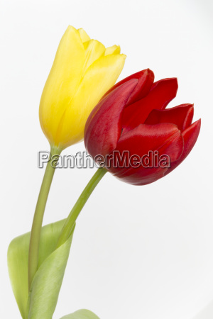 red and yellow tulips on stems