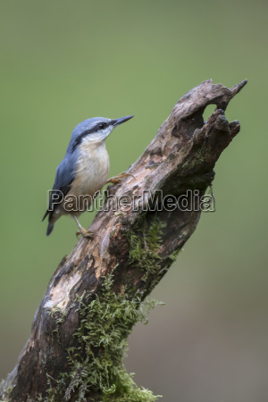 nuthatch sittidae with its blue plumage