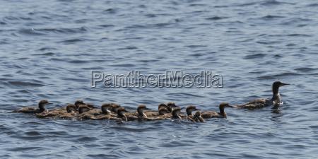 a duck with a large group