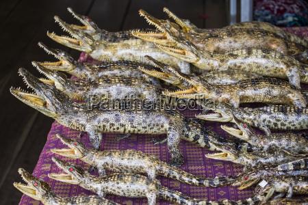 stuffed siamese crocodiles tonle sap siem