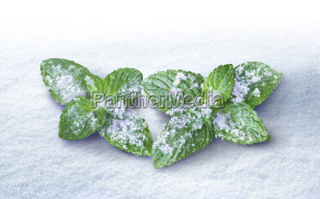 peppermint leaves dusted with snow and