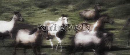 wild horses on the move