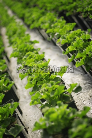 commercially cultivated plants