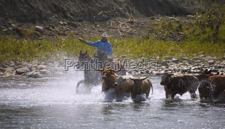 cowboy herding cattle across the river