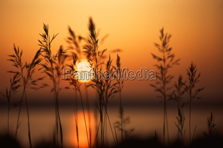 sun setting behind plants