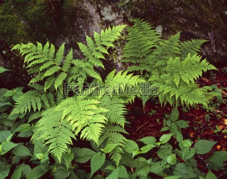 close up of woodfern plants in