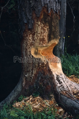 beaver cut in wild black cherry