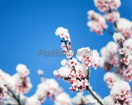 cherry blossoms with fresh snow
