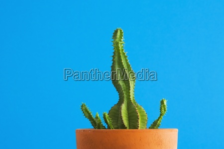 green cactus on blue background