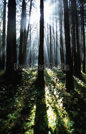 sunshine through fog and trees
