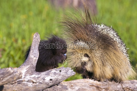 porcupine baby and mother