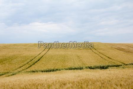 kornfelder mit fahrspuren und horizont bei