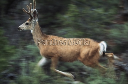 young mule deer buck running grand