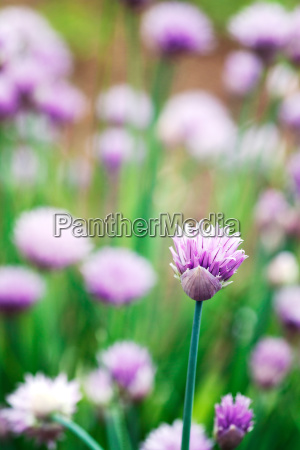 chives flowers in spring