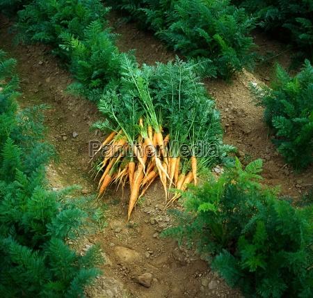fresh carrots from the garden ireland
