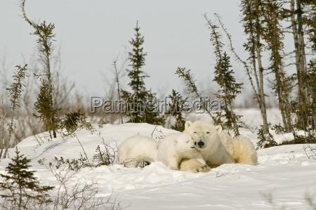 polar bear with cub in snow