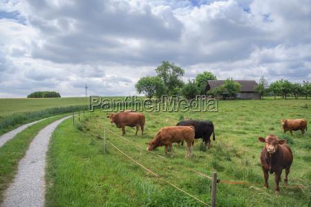 landschaft auf dem landen mit kuehen