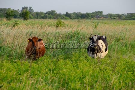 zwei kuehe auf der weide braune