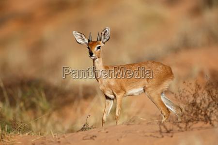 male steenbok antelope