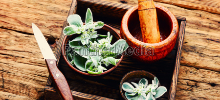 euphorbia an ancient means of