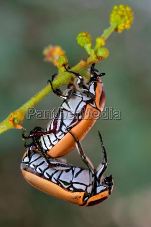 insekt afrika kaefer afrikanerin afrikaner afrikanisch