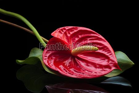 red anthurium on black
