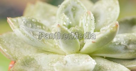 green succulents plant