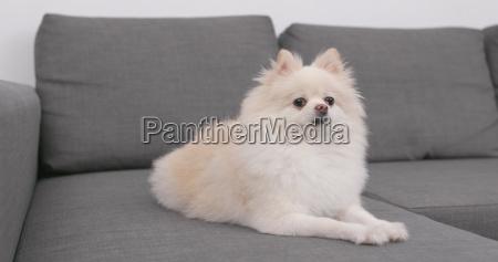 pommerischer hund auf sofa