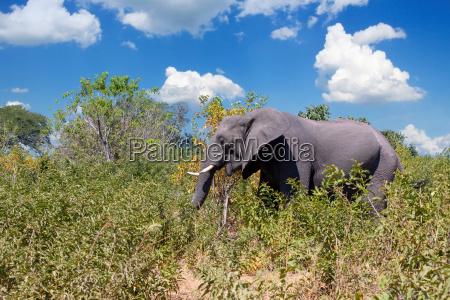 afrikanischer elefant in chobe botswana safari