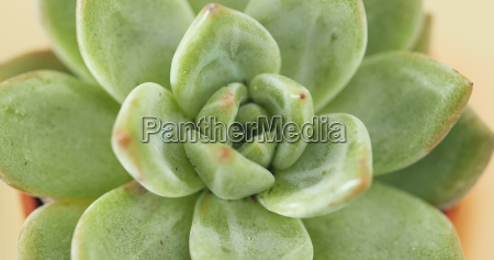 green succulents plant close up