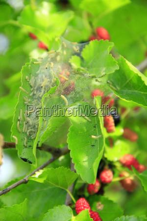 raupen fressen blaetter von maulbeeren zweig