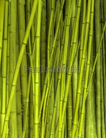 bamboo stalks background