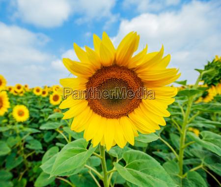 blume pflanze gewaechs feld sommer sommerlich