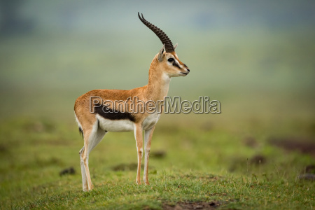 thomson gazelle standing in profile on