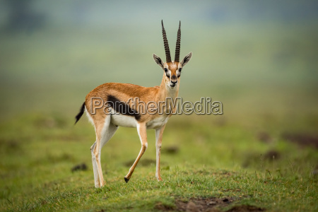 thomson gazelle stands facing camera on