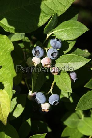 heidelbeere vaccinium myrtillus fruechte am