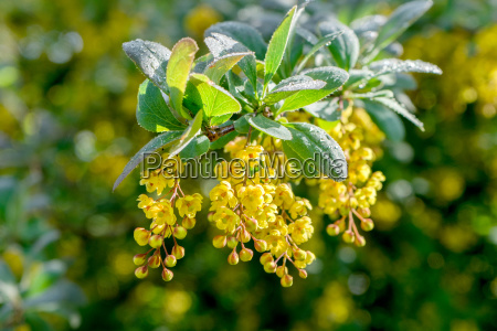 barberry with yellow flowers