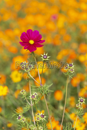 single cosmos bipinnatus flower in the