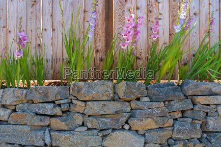 gladiolus blumen entlang gartenzaun
