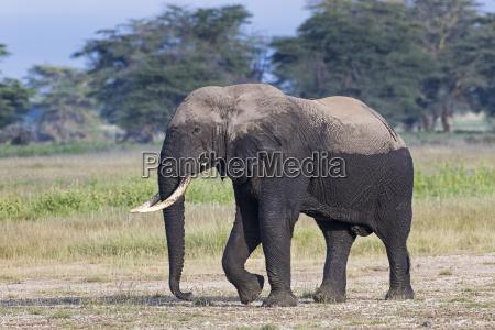 kenia amboseli elefant 4742