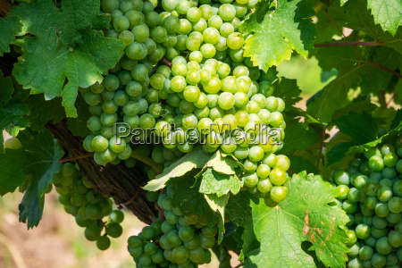 green grapes on grapevine