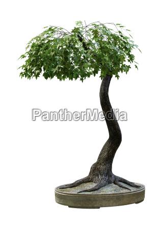 3d rendering japanese bonsai maple tree