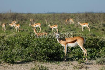 springbok antelope herd etosha