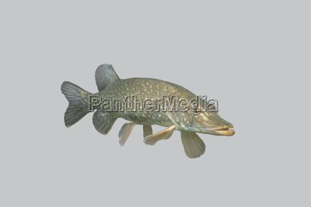 fisch raubhecht