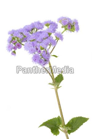 ageratum houstonianum flower isolated on white