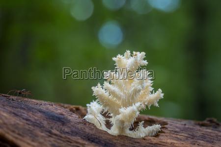 koestlicher essbarer weisser pilz coral hericium