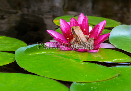 pacific tree frog on water lily