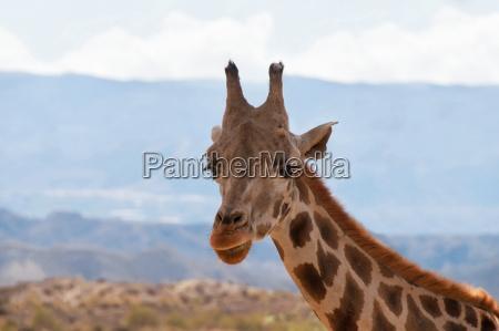 portrait der giraffe aufpassend auf sie