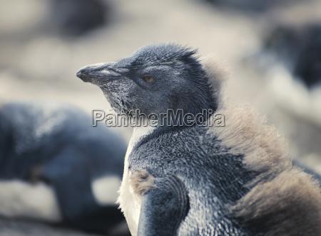 close up of chick rockhopper penguin