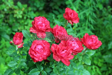 rote rosen bluehen im sommergarten
